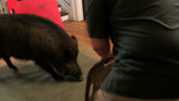 College Hazing With A Wild Boar