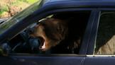 Bear Behind The Wheel